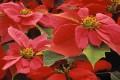 Weihnachtsdekoration und Weihnachtssterne