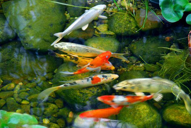Füttern Sie Ihre Fische nicht. Sie ernähren sich von dem, was sie im Teich finden. (Bildquelle:  elenathewise / clipdealer.de)