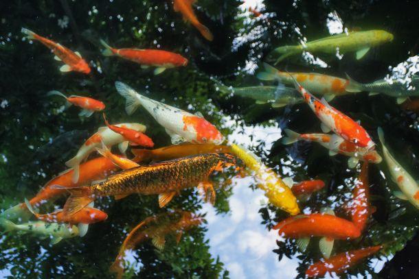 Lassen Sie die Fische während der Reinigung in einer Teich-Pfütze. (Bildnachweis: smithore / clipdealer.de)