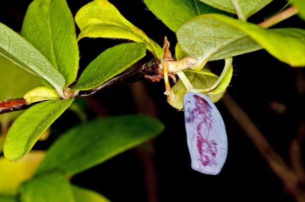 Die Honigbeere stammt ursprünglich aus Sibirien. (Fotoquelle:  Schneider / clipdealer.de)