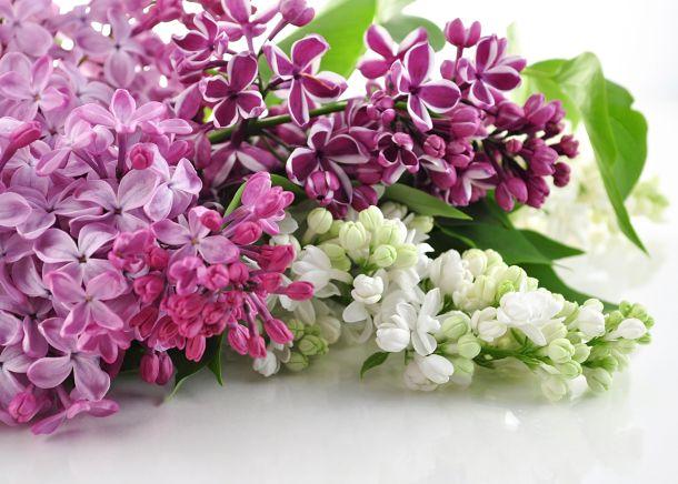 Weißer und violetter Fieder gehören zu den Frühblühern. (Fotoquelle: svetlanna / clipdealer.de)