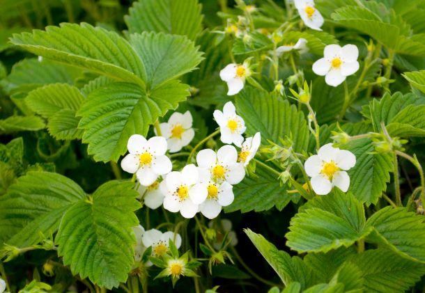 Entfernen Sie die ersten Blütenstände, denn die Nachblüte ist üppiger. (Fotoquelle: ksena32 / clipdealer.de)