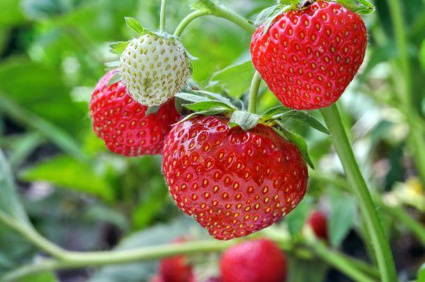 Wechseln Sie regelmässig den Standort des Erdbeerbeetes. (Fotoquelle: yuris010 / clipdealer.de)