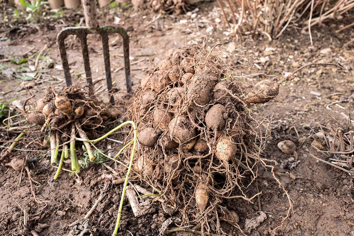 Nach dem Trocknen werden die Dahlienpflanzen von Erde befreit und genau begutachtet.