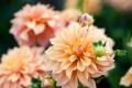 Die Dahlie fasziniert Garten-Fans mit üppigem Wachstum und wunderschöner Farbenpracht.