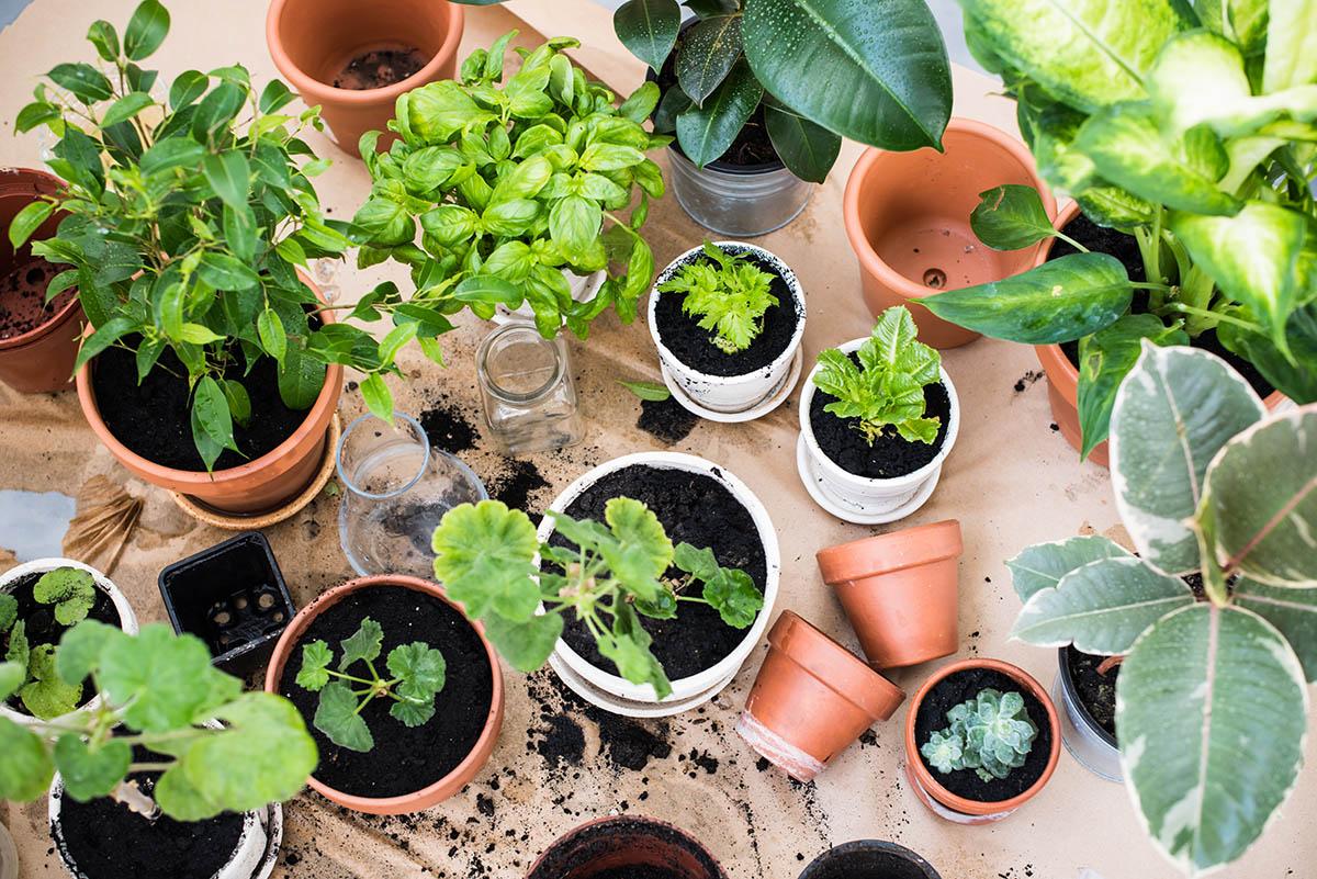 Wie oft man die Pflanze düngen muss, hängt von ihren Bedürfnissen ab.