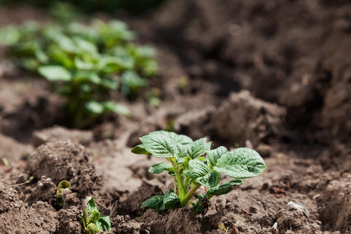 Wenn man Kartoffeln selbst steckt, kann man seine Lieblingssorte anpflanzen.