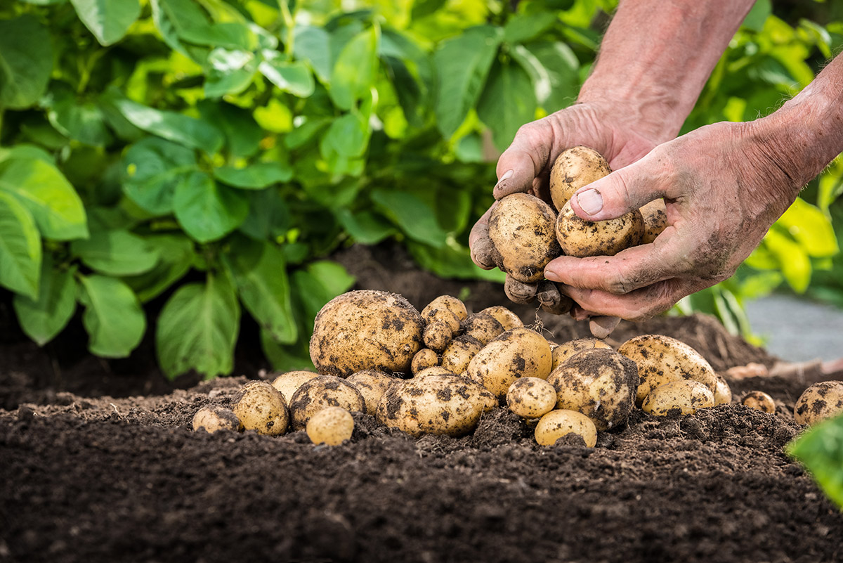 Die Sortenwahl hängt auch davon ab, wann die Ernte erfolgen soll.