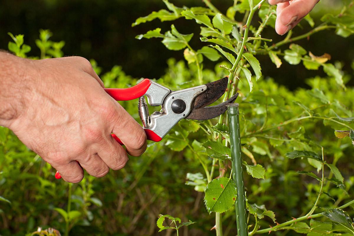 Es gibt Regeln für das Schneiden von Rosen, die von der Häufigkeit des Blühens abhängt.