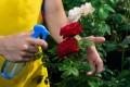 Es ist nötig, Rosen dreimal im Jahr bedarfsgerecht zu düngen.