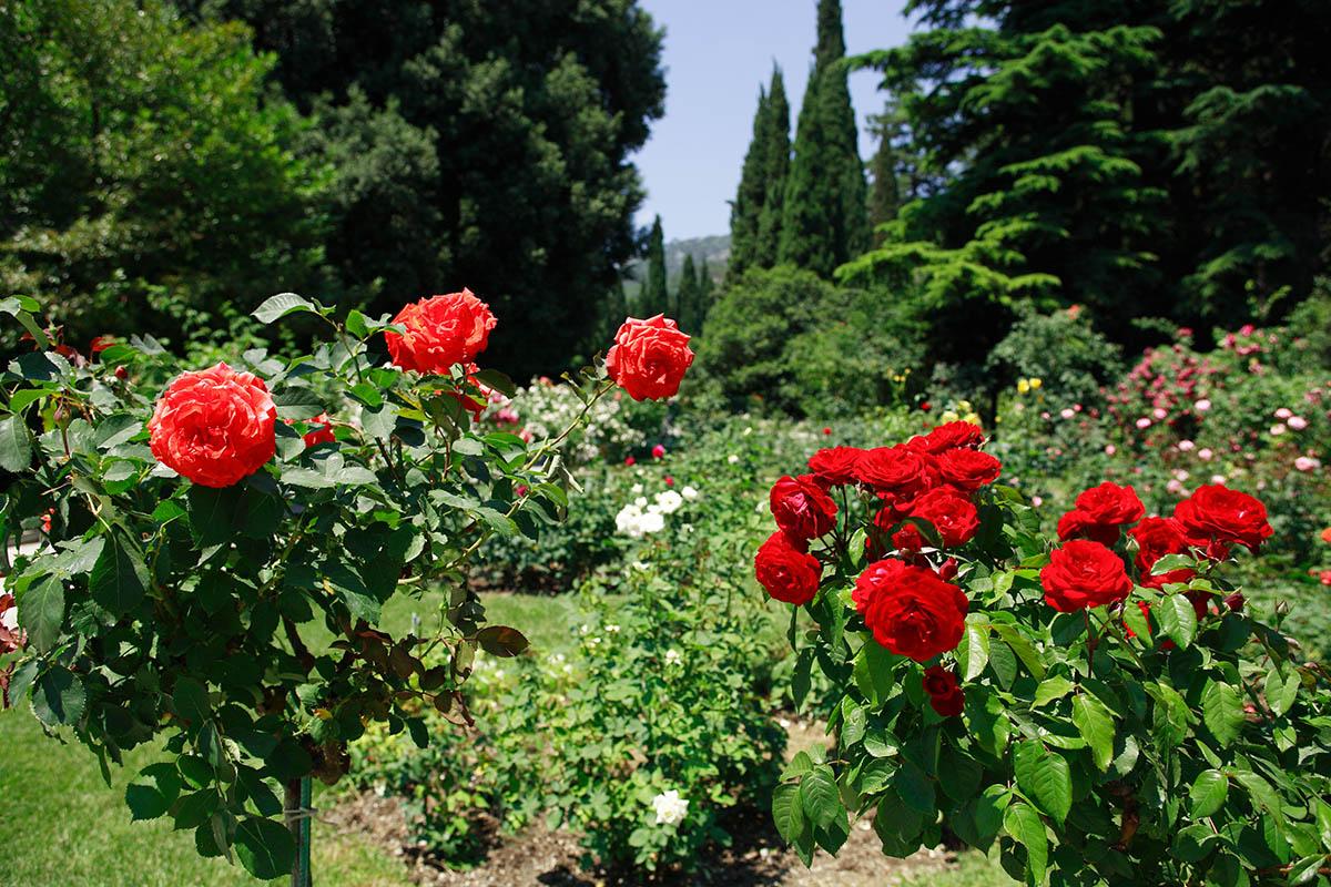 Wildrosensorten und Ramblerrosen blühen meist nur einmal im Jahr.