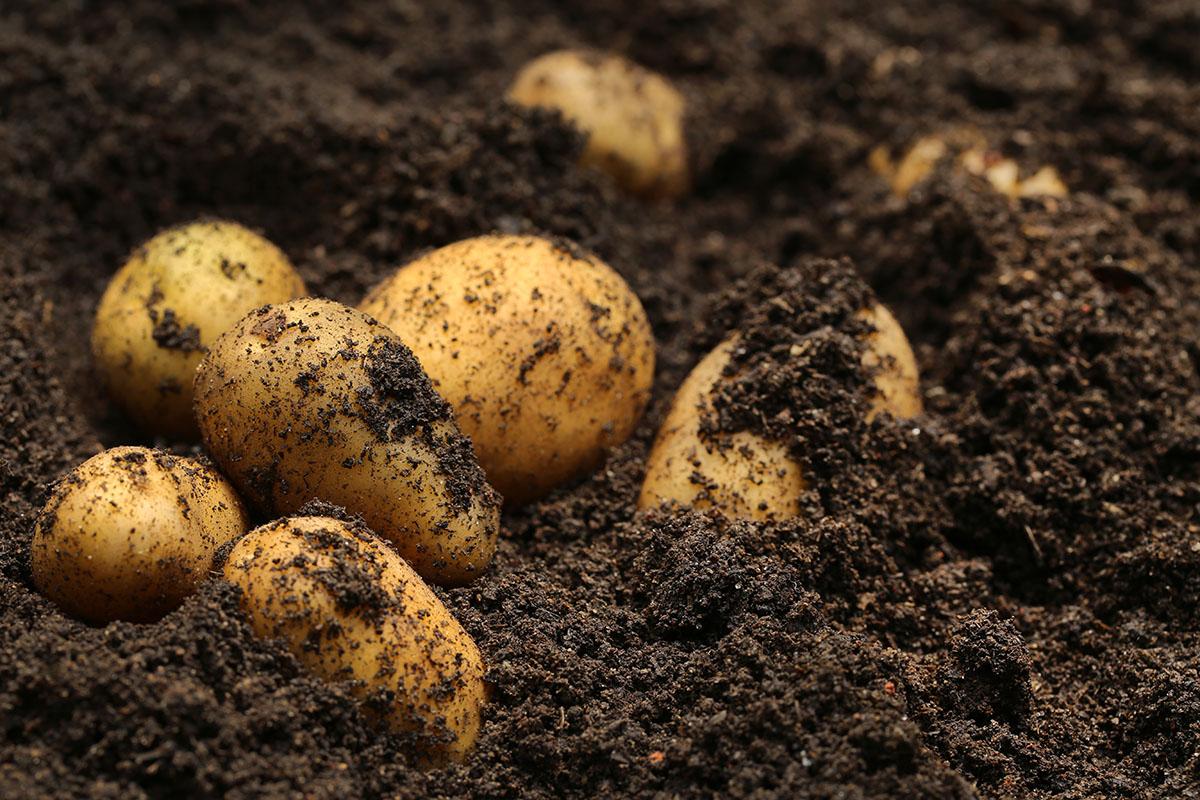 Die Kartoffeln müssen vor allem in den trockenen Jahren gut bewässert werden.
