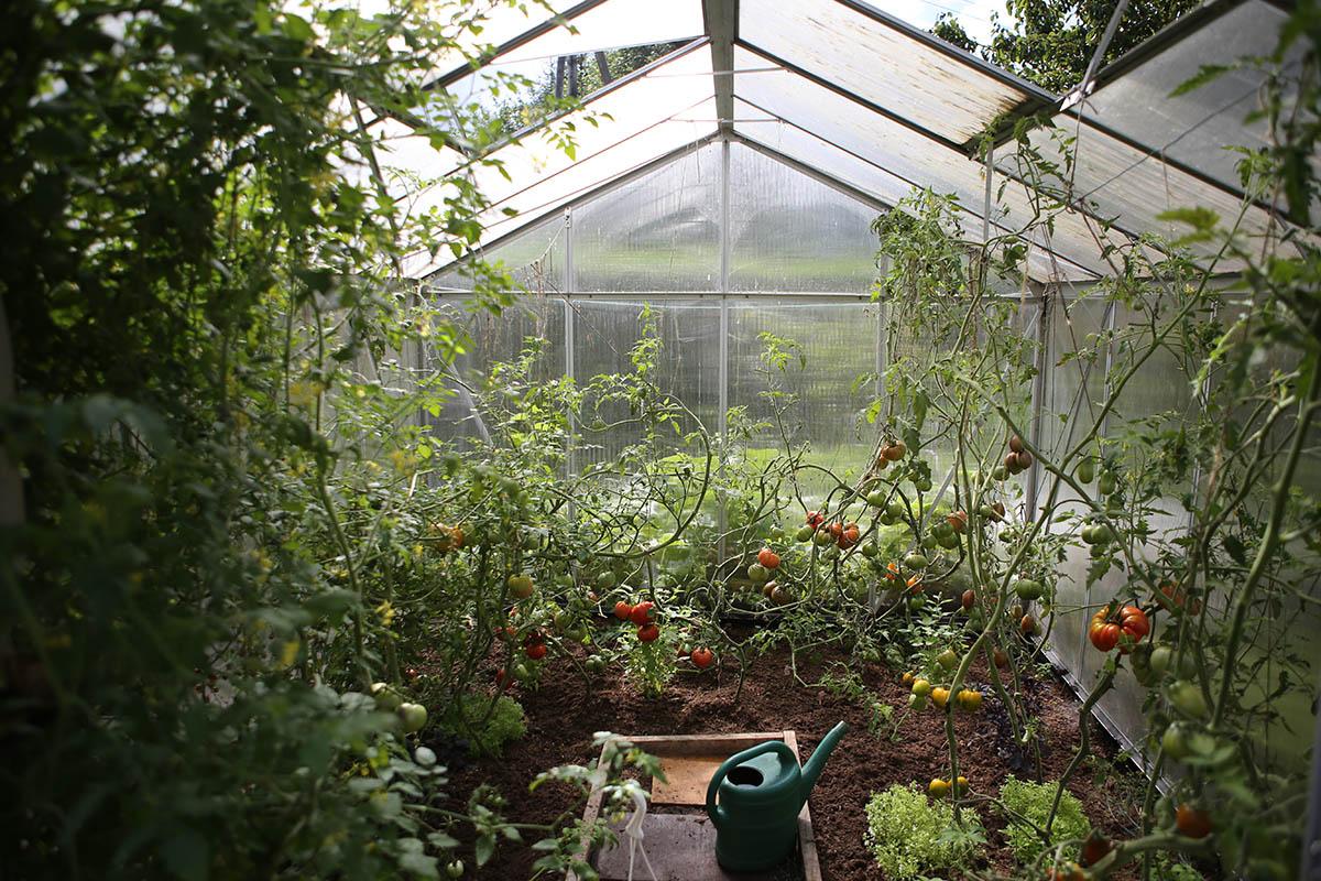 Tomaten benötigen nicht viel Platz und gedeihen sogar in Kübeln prächtig.