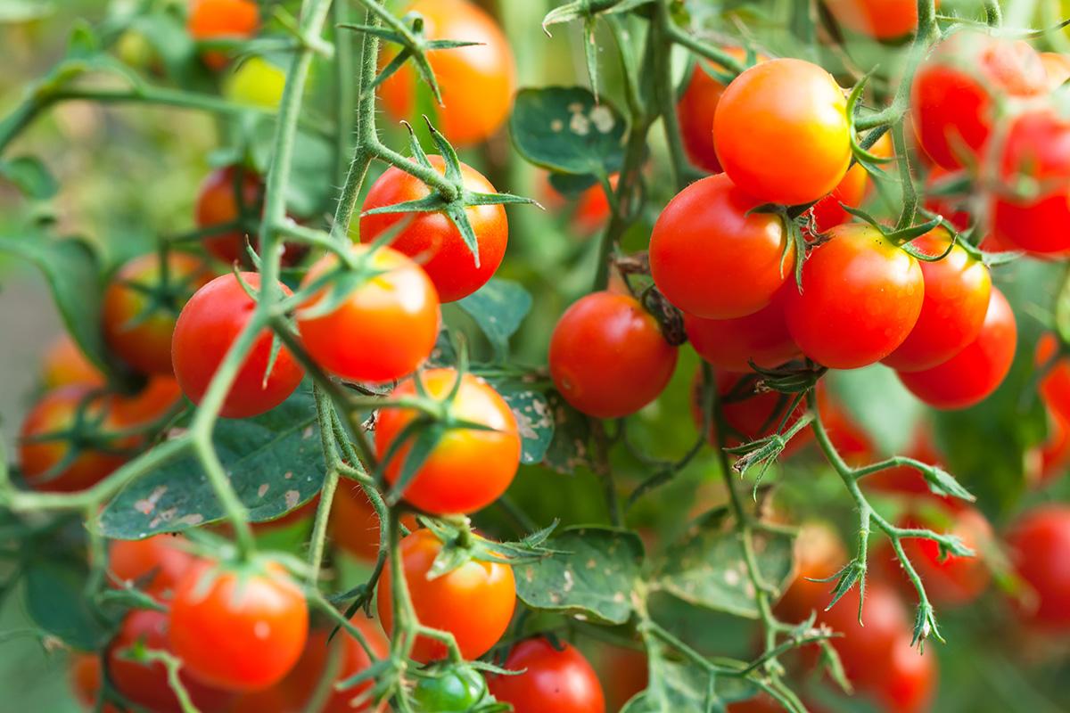Cherry-Tomaten sind auch unter der Bezeichnung Kirschtomaten bekannt