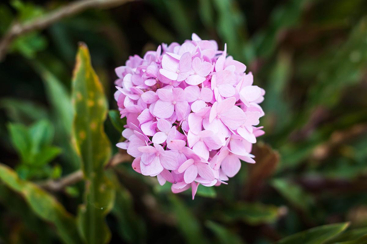Hortensien sind Farbenfroh und blühen bis in den Herbst hinein.