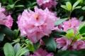 Der Rhododendron gehört zu den beliebtesten Ziersträuchern im Garten.