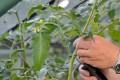 Tomaten wachsen meist relativ schnell und außerdem sehr dicht.