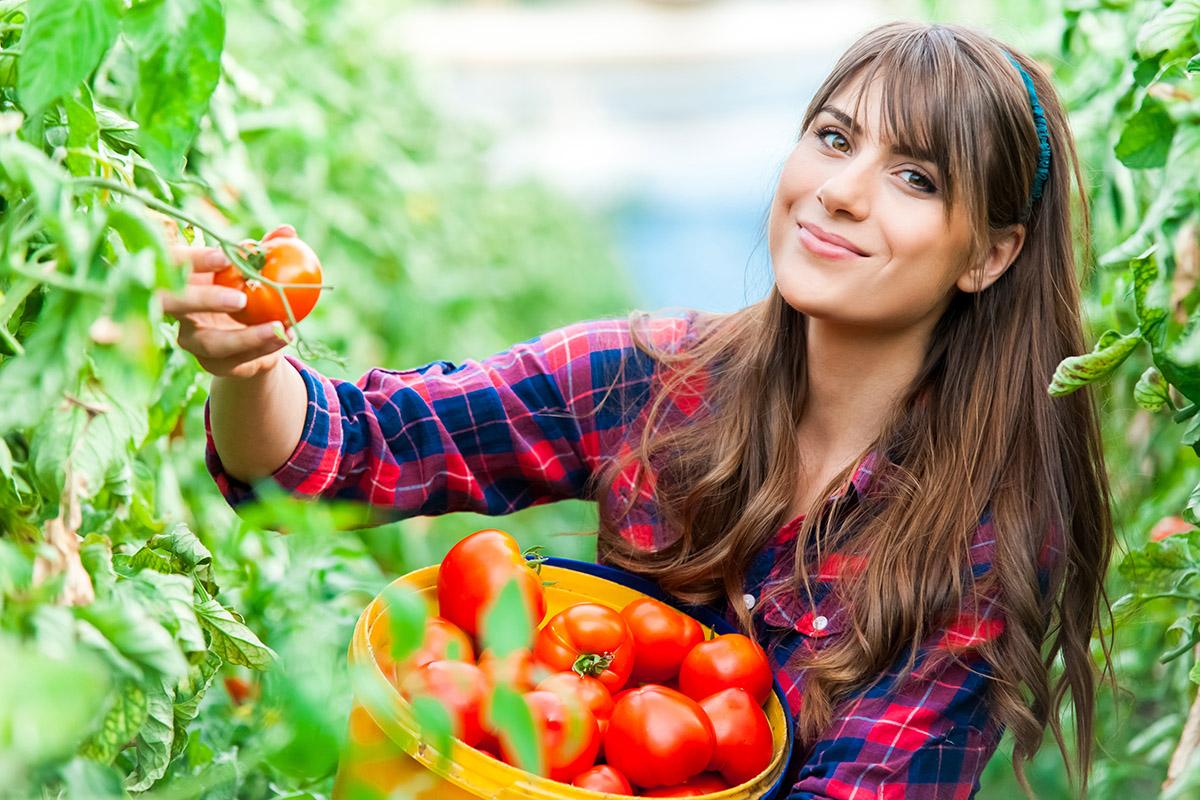 Herunterhängende Tomaten sollte man wegen den Schnecken hochbinden.