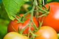 Tomaten schmecken roh und unterstützen das feine Aroma edler Kräuter.
