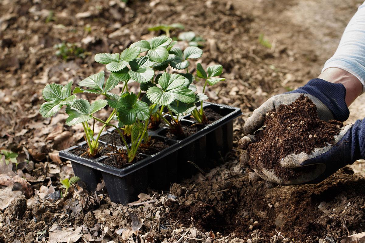 Sorten, die in einem Pflanztopf überwintern, werden immer beliebter.