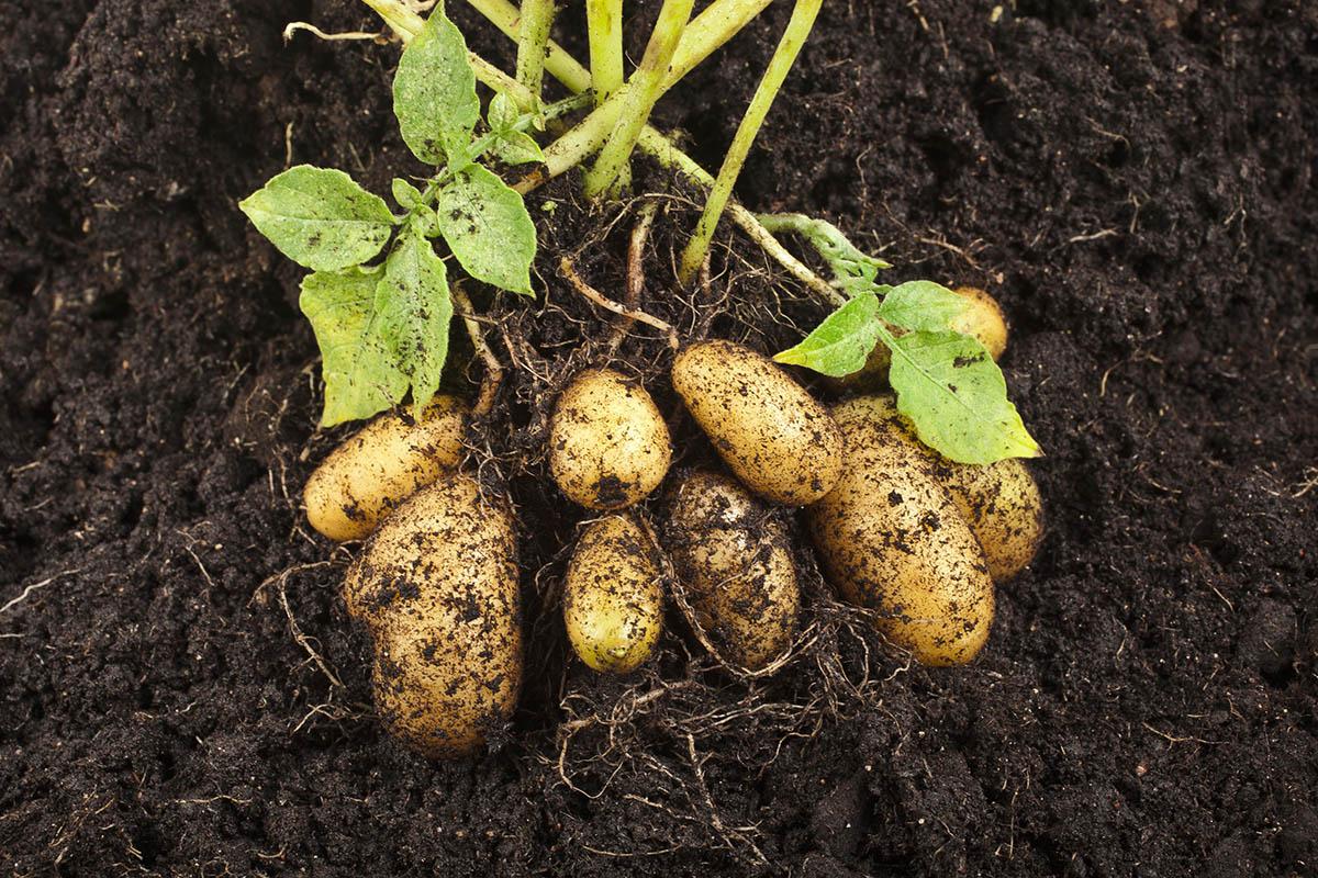 Für eine erfolgreiche Ernte benötigt man Saatkartoffeln, Anleitung und Platz.
