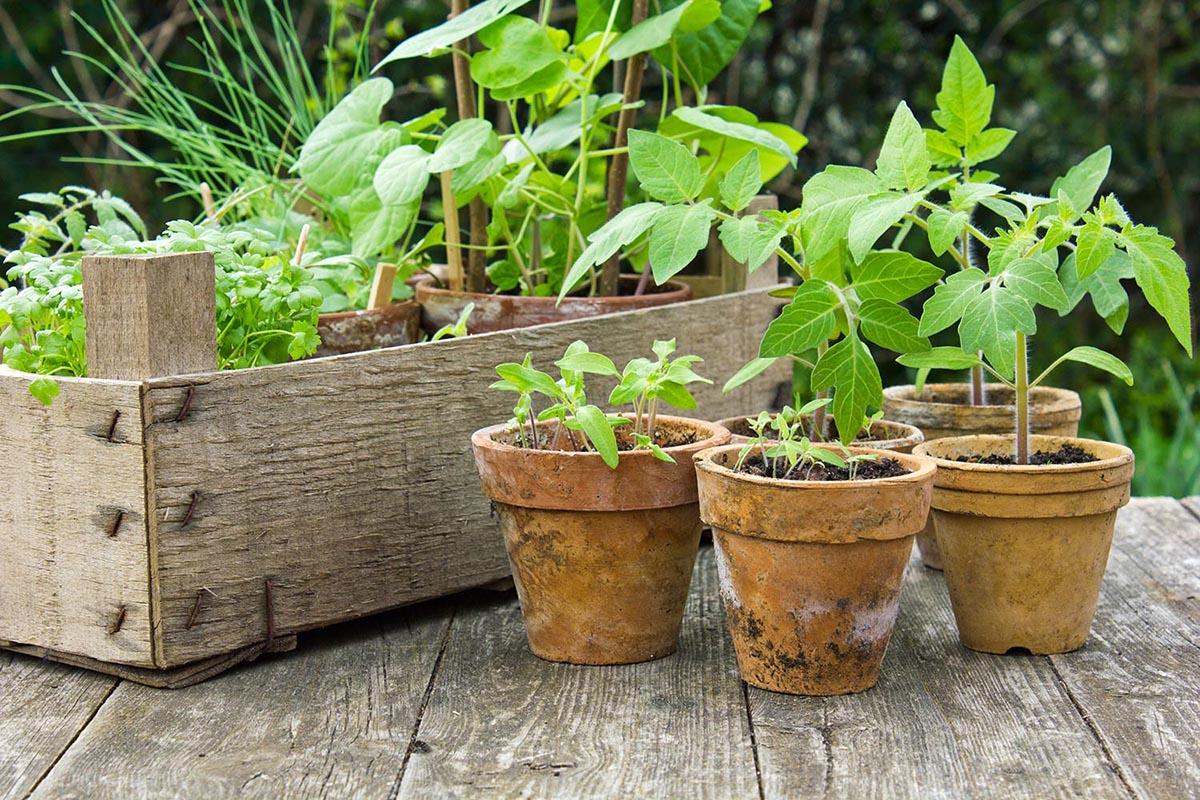 Tomatensamen werden üblicherweise in einer Pflanzschale ausgesät.