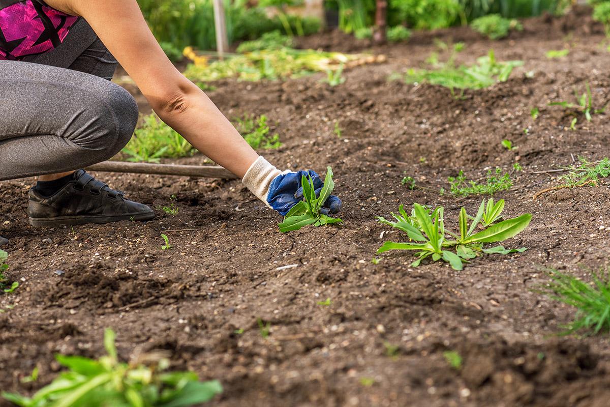 Unkraut entfernen mit umweltfreundlichen und effektiven Mitteln kann einfach sein.