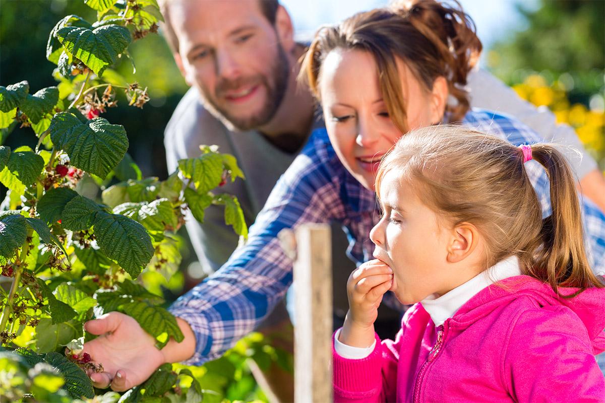 Beeren müssen nur abgepflückt werden und haben eine sehr handliche Größe.