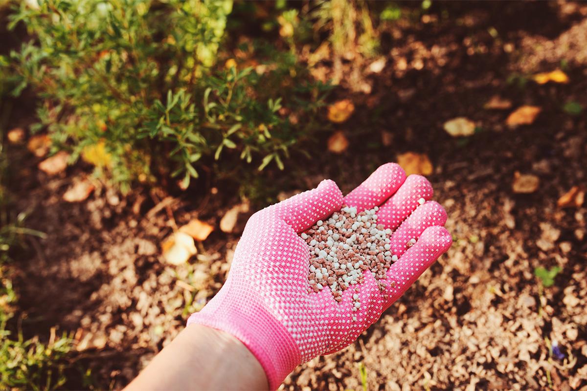 Um den Rasen für den Winter vorzubereiten, muss ein Herbstdünger mit Kalium verwendet werden.