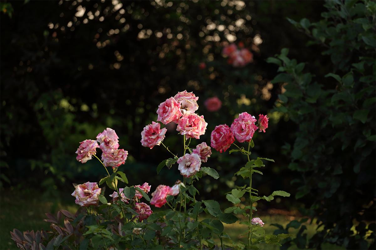 Rosen lieben einen sonnigen Platz, welcher aber dennoch windgeschützt sein muss.