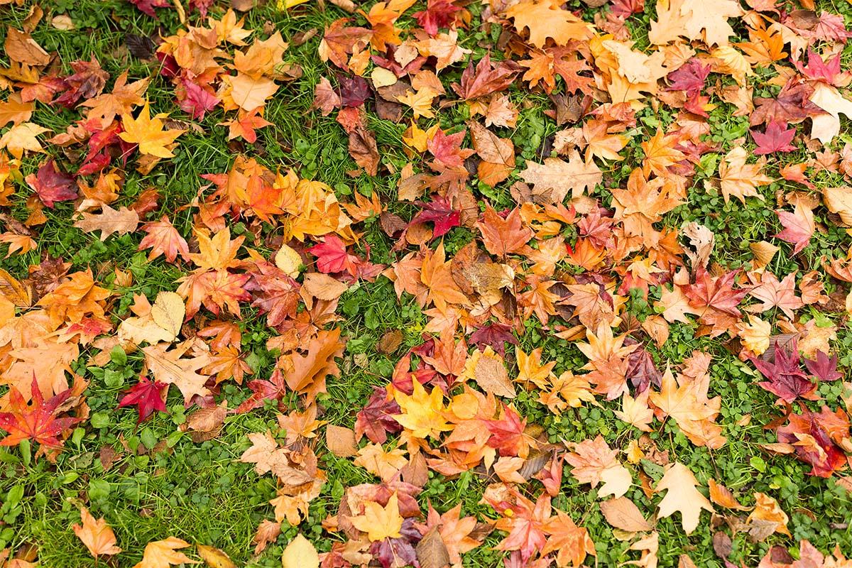 Kaum etwas bietet einen so guten Winterschutz für empfindliche Pflanzen wie Herbstlaub.